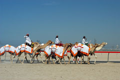 Dubai camel race Royalty Free Stock Image