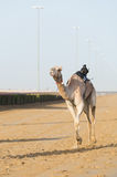 Dubai camel racing club camels racing with radio jockey Stock Image