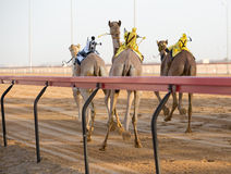 Dubai camel racing club camels racing with radio jockey Royalty Free Stock Image