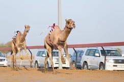 Dubai camel racing club camels racing with radio jockey Royalty Free Stock Images