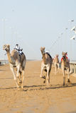 Dubai camel racing club camels racing with radio jockey Stock Photos