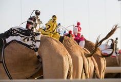 Dubai camel racing club camels with radio manless jockeys. Royalty Free Stock Photo