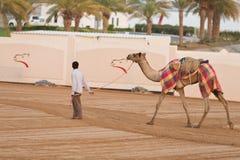 Dubai camel racing club camels taken for warm up walks Royalty Free Stock Photo