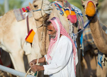 Dubai camel racing club camels waiting to race with keeper. Royalty Free Stock Image