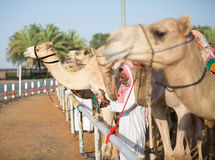Dubai camel racing club camels waiting to race with keeper. Stock Photo