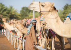 Dubai camel racing club camels waiting to race with keeper. Royalty Free Stock Photography