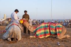 Dubai camel racing club camels waiting to race at sunset Royalty Free Stock Photos