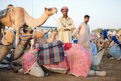Dubai camel racing club camels waiting to race at sunset Royalty Free Stock Photo