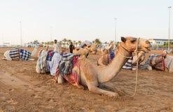 Dubai camel racing club camels waiting to race at sunset Stock Images