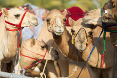 Dubai camel racing club camels waiting to race at sunset Stock Image