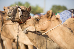 Dubai camel racing club camels waiting to race at sunset Royalty Free Stock Images