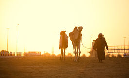 Dubai camel racing club sunset silhouettes of camels Stock Photo