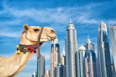 UAE Dubai Marina JBR beach style: camels and skyscrapers. modern buildings business style. uae history and modern. DUBAI Camel on skyscrapers background at the royalty free stock photo
