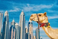 UAE Dubai Marina JBR beach style: camels and skyscrapers. DUBAI Camel on skyscrapers background at the beach . UAE Dubai Marina JBR beach style: camels and royalty free stock photos