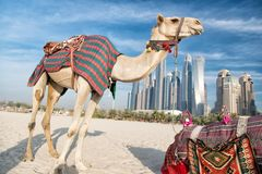 DUBAI Camels on skyscrapers background at the beach Stock Image