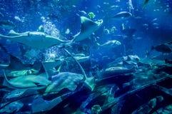 dubai Estate 2016 Molto grande pesce nell'acquario ad Atlantide la palma fotografia stock libera da diritti