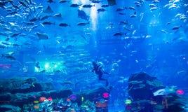 Dubai mall aquarium. A scuba diver in the aquarium in the Dubai Mall Stock Photos