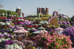 Dubai miracle garden. With over million flowers on sunny day royalty free stock photography