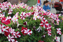 Dubai Miracle Garden flower. Dubai Miracle Garden is the biggest natural flower garden in the world with wide variety of different flowers arranged in shapes of Royalty Free Stock Photos