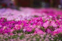 Dubai miracle garden Royalty Free Stock Photography