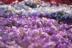 Dubai miracle garden Royalty Free Stock Images