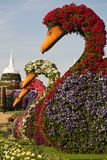 Dubai Miracle Garden United Arab Emirates. The interior of Dubai Miracle Garden featuring beautiful abundance of blooms in many colors sculpted on swans stock photo