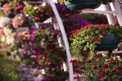 Dubai mirakelträdgård Arkivfoto