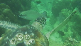 Dubai sea turtle. Sea turtle swimming in the sea of Dubai, United Arab Emirates stock video