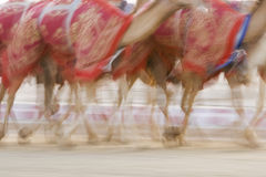 Dubai UAE Blurred motion of camels running during training at Nad Al Sheba Camel Racetrack Royalty Free Stock Photography