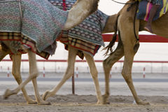 Dubai UAE Blurred motion of camels running during training at Nad Al Sheba Camel Racetrack Royalty Free Stock Photo