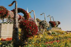 DUBAI, UAE - 5 de janeiro de 2019: Jardim do milagre de Dubai com as mais de 45 milhão flores em um dia ensolarado, Emiratos Árab foto de stock