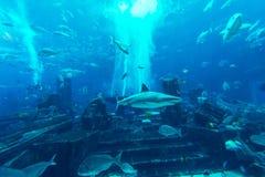 DUBAI, UAE - DECEMBER 31: Large aquarium in Hotel Atlantis Royalty Free Stock Image