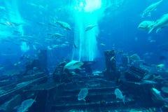 DUBAI UAE - DECEMBER 31: Stort akvarium i hotellet Atlantis Arkivbilder