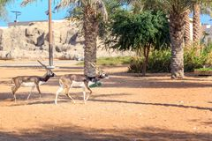 Two gazelles are running in an open-air cage Dubai Safari Park. Dubai, UAE - December 30, 2017. Two gazelles are running in an open-air cage Dubai Safari Park Royalty Free Stock Photos