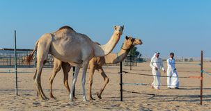 Arab men with a camel on a farm Stock Photo