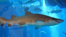 DUBAI, UNITED ARAB EMIRATES, UAE - NOVEMBER 20, 2017: Aquarium in Dubai Mall -Large toothy shark floats in the aquarium. Behind the glass, Fishes underwater in stock footage