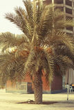 DUBAI-UNITED ARABSCY emiraty NA 21 2017 CZERWU Daktylowy drzewko palmowe blisko AJMAN zatoczki Obraz Royalty Free