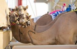 Dubaj wielbłądzi ścigać się świetlicowi wielbłądy przy zaczyna linią Obrazy Stock