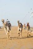 Dubaj wielbłądzi ścigać się wielbłądów świetlicowy ścigać się z radiowym dżokejem Zdjęcia Stock