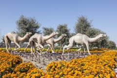 Dubaj wielbłąda rasy klub Zdjęcie Royalty Free