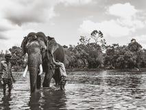 Dubare do elefante Imagem de Stock
