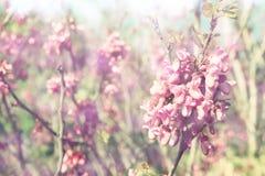 Dubbel exponering av trädet för körsbärsröda blomningar för vår abstrakt bakgrund Drömlikt begrepp Royaltyfria Bilder