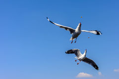 Dubbel flygseagull Arkivfoton