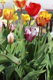 Dubbel gekleurde tulpen die voor de zon bereiken Royalty-vrije Stock Afbeelding