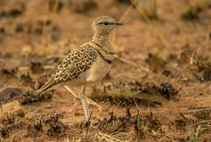 Dubbel-gestreept courser een vogel in het Zuidafrikaanse landschap stock foto's