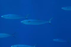 Dubbel-gevoerde makreel Royalty-vrije Stock Foto