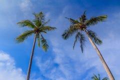 Dubbel kokospalm Royaltyfri Bild