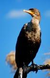 Dubbel-krönad Cormorant Royaltyfria Foton