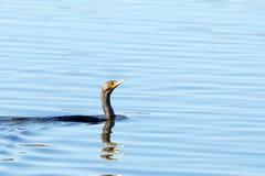 Dubbel krönad kormoransimning i vatten arkivbilder