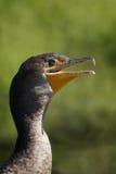 Dubbel-kuifaalscholver (Phalacrocorax-auritus) stock fotografie